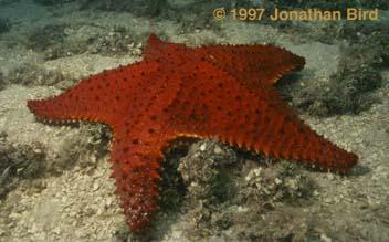 the wonders of the seas echinoderms