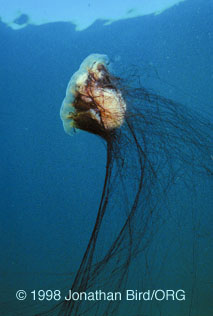 The Lions Mane Jelly Is A Venomous Scyphozoan Which Can Sting People With Its Long Tentacles Since Hang So Far Down Use
